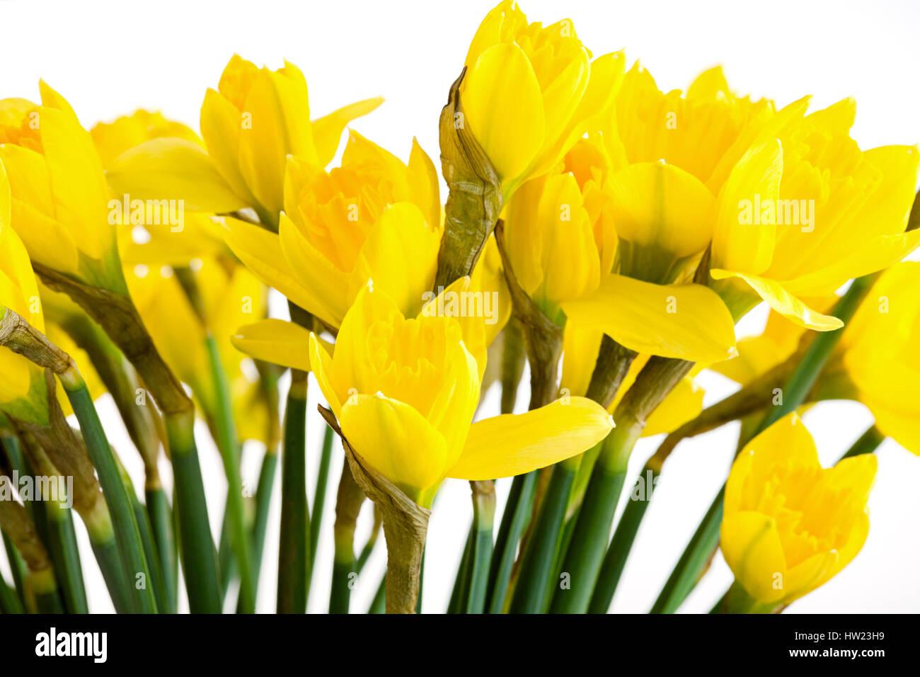 Frühling Blumen Rahmen, schöne frische Narzissen Blumen, isoliert ...