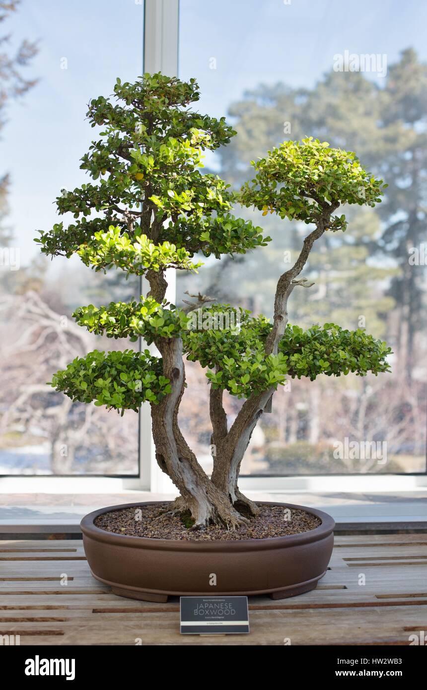 boxwood bonsai stockfotos boxwood bonsai bilder alamy. Black Bedroom Furniture Sets. Home Design Ideas