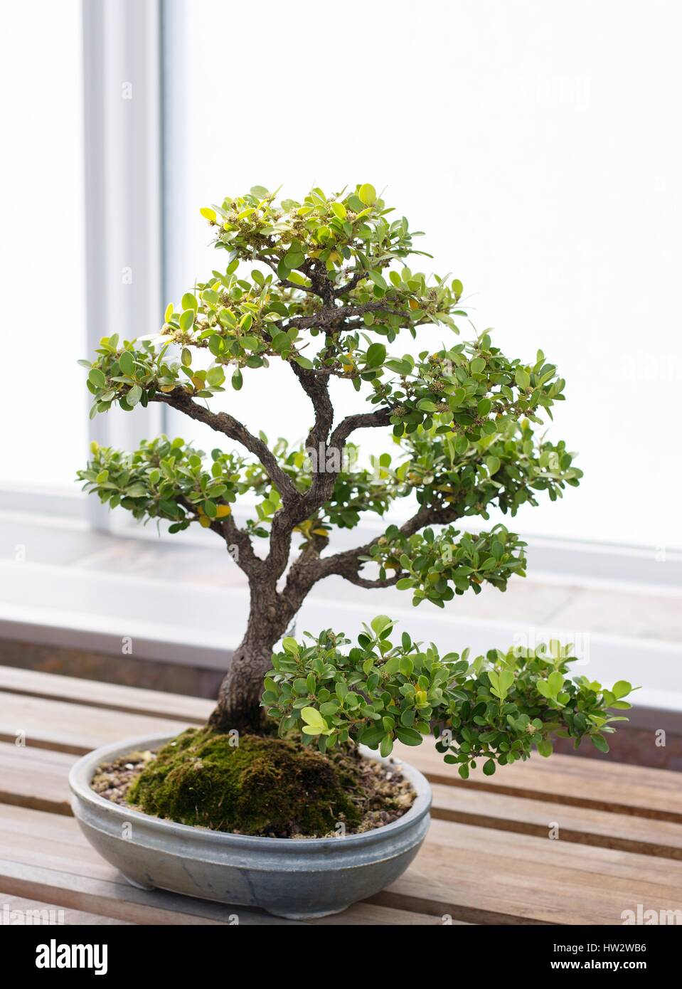 boxwood bonsai stockfotos boxwood bonsai bilder alamy. Black Bedroom Furniture Sets. Home Design Ideas