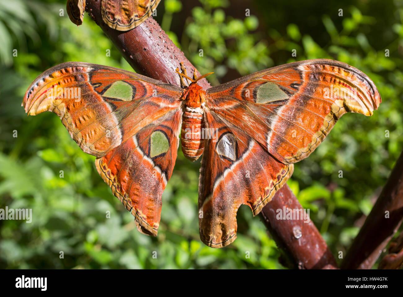Attacus Atlas. Benalmadena Butterfly Park, Costa del Sol, Malaga, Spanien Europa Stockbild