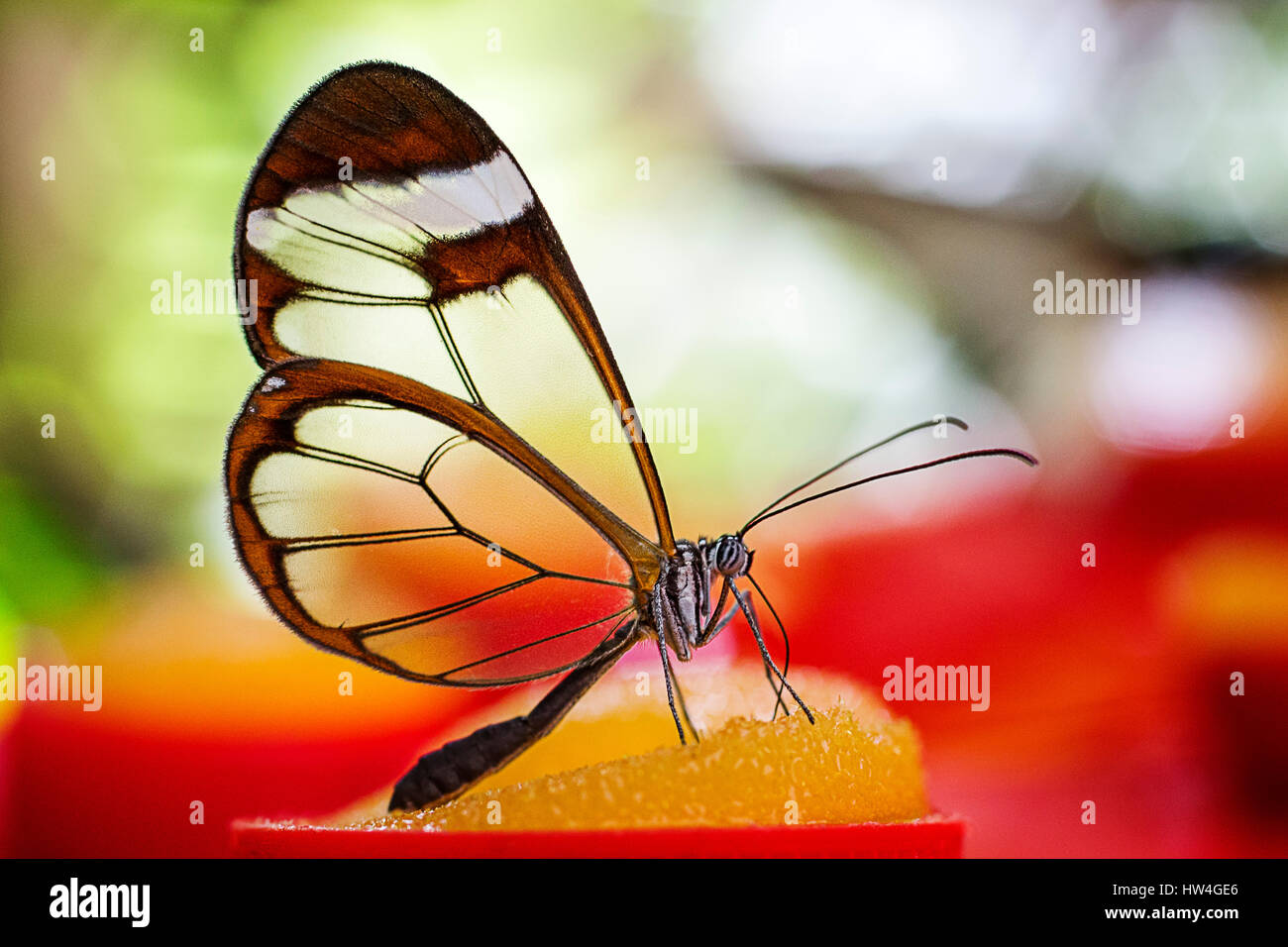 Greta Oto Schmetterling. Glas-Schmetterling oder Spiegel Schmetterling, durchsichtigen Flügeln. Schmetterlingspark Stockbild