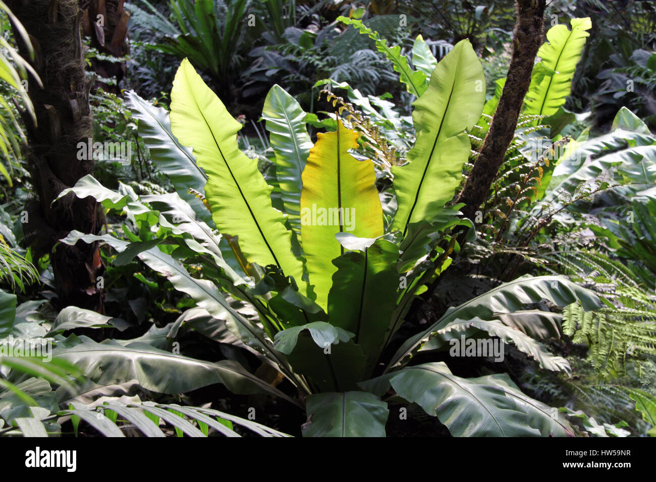 Sonnendurchflutetes Bird Nest Farn Blätter, große tropische Pflanze ...