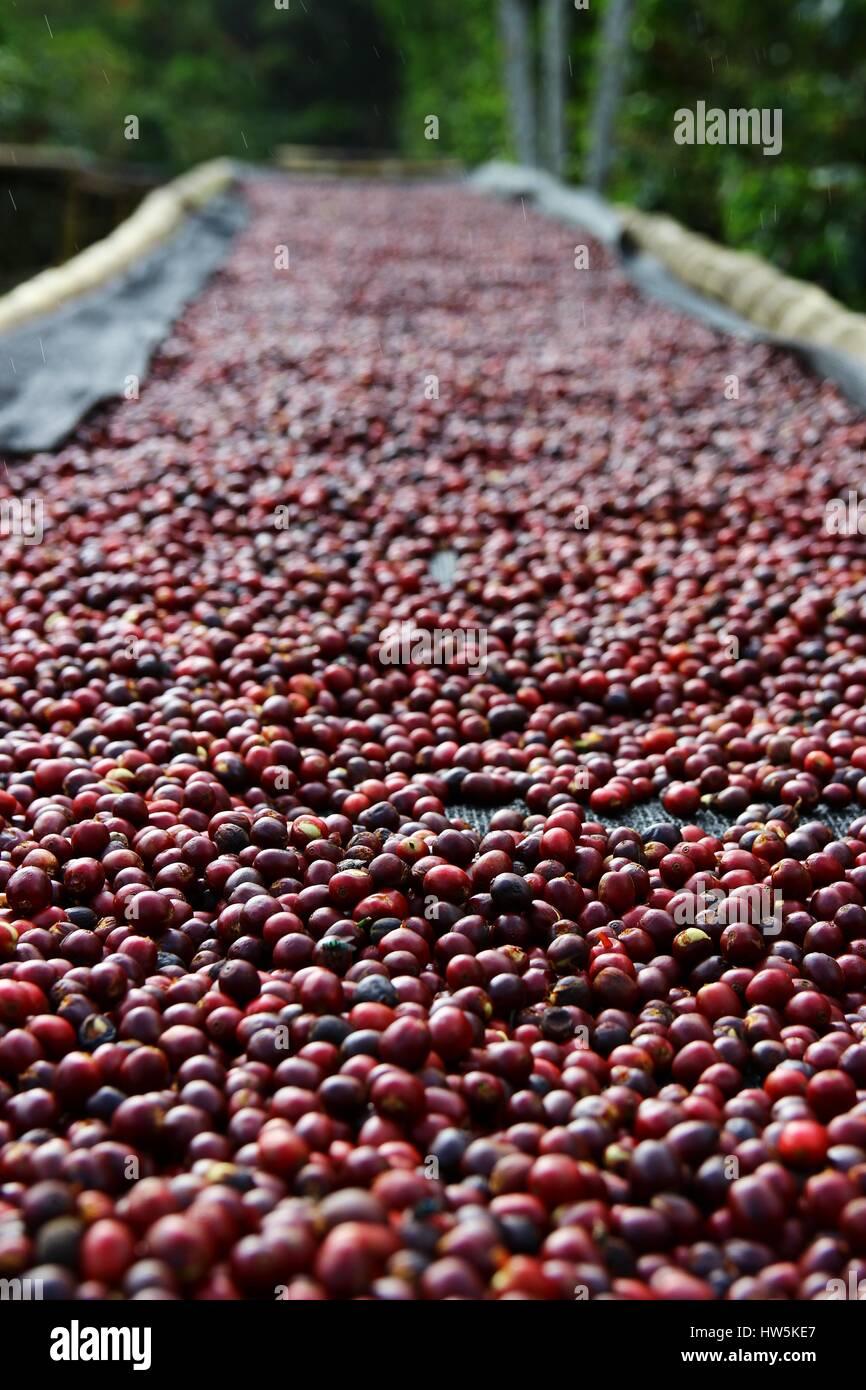 Kaffeekirschen Liegen Zum Trocknen Auf Bambus Hochbeete In Boquete