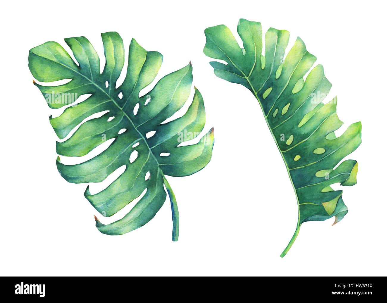 satz von gro en tropischen gr nen blatt monstera pflanze handgezeichnete aquarell auf wei em. Black Bedroom Furniture Sets. Home Design Ideas