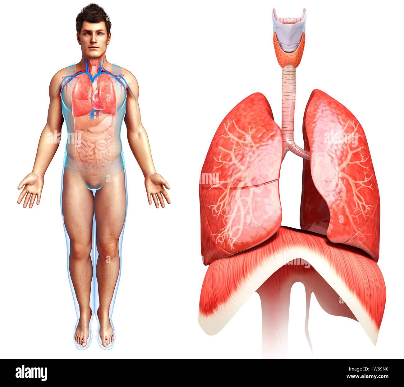 Darstellung der Lunge und Zwerchfell Anatomie Stockfoto, Bild ...