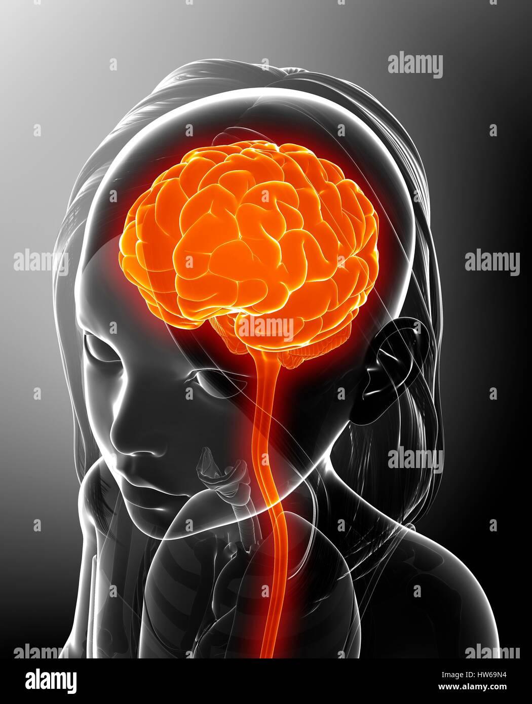 Darstellung der das Gehirn eines Kindes Stockfoto, Bild: 135978336 ...