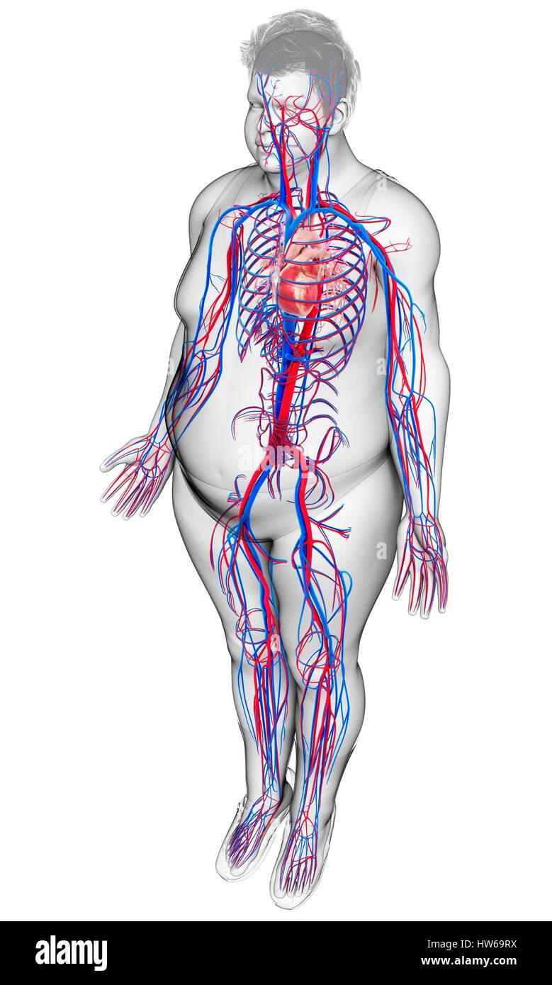 Darstellung der männlichen Herz-Kreislauf-System Stockfoto, Bild ...