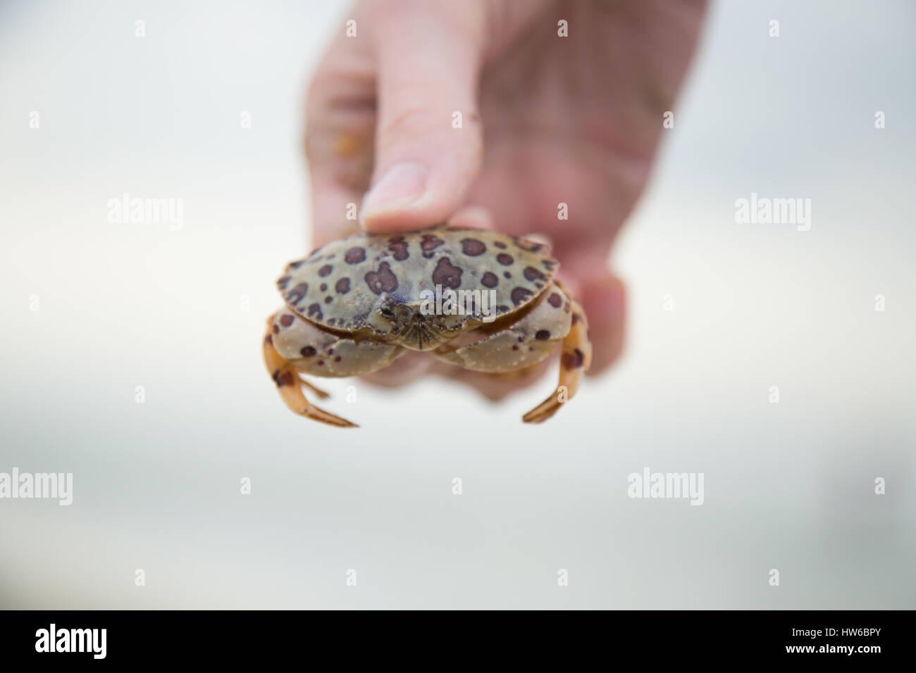 Hand halten Krabbe Stockbild