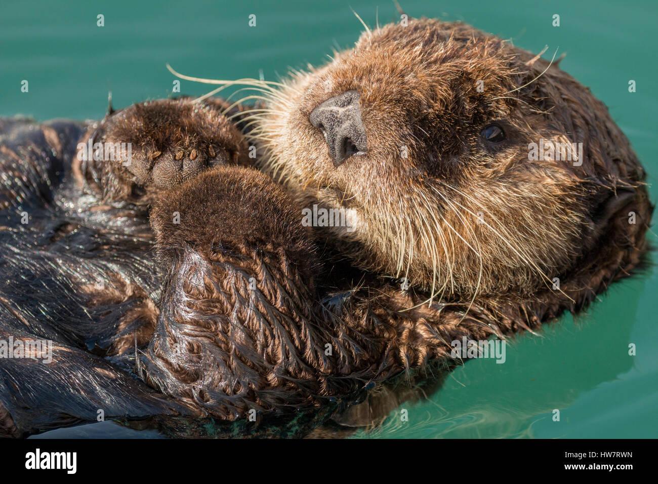 Sea Otter Schwimmen im Hafen von Seward, Alaska. Stockbild