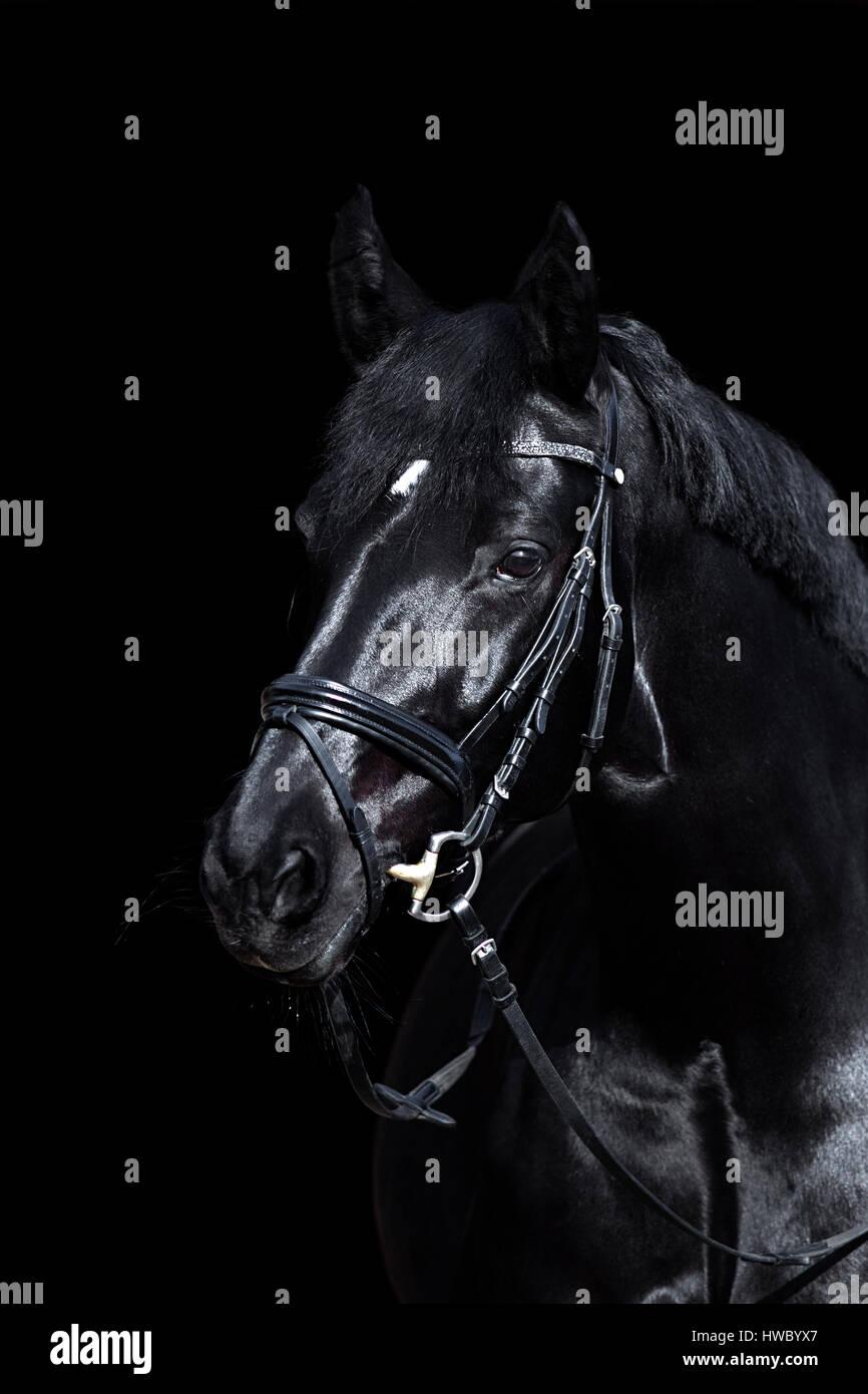 Schwarzes Pferd auf schwarzem Hintergrund. Glänzendes warmblut Hengst mit Zaumzeug. Stockbild