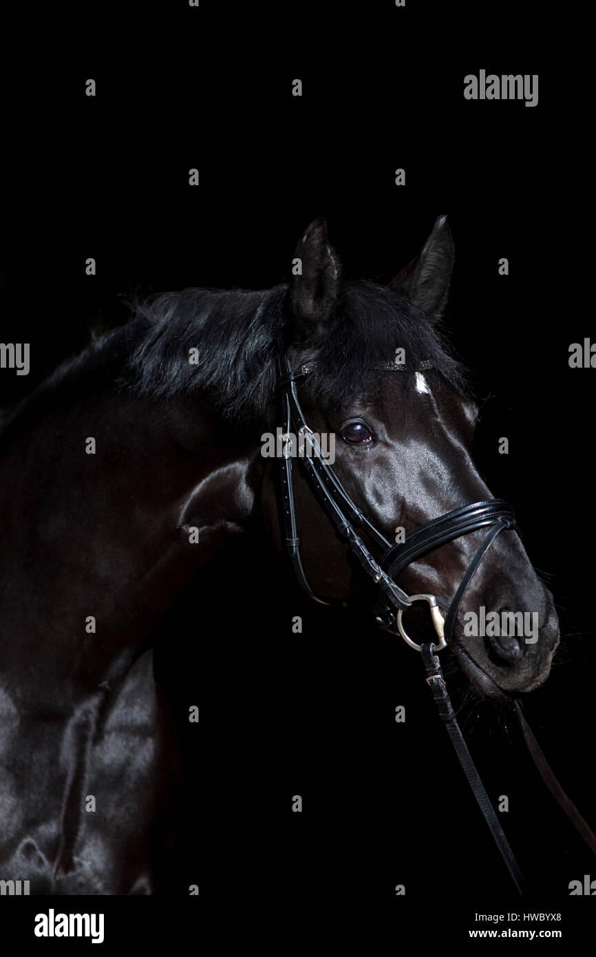 schwarzes Pferd auf schwarzem Hintergrund Stockbild