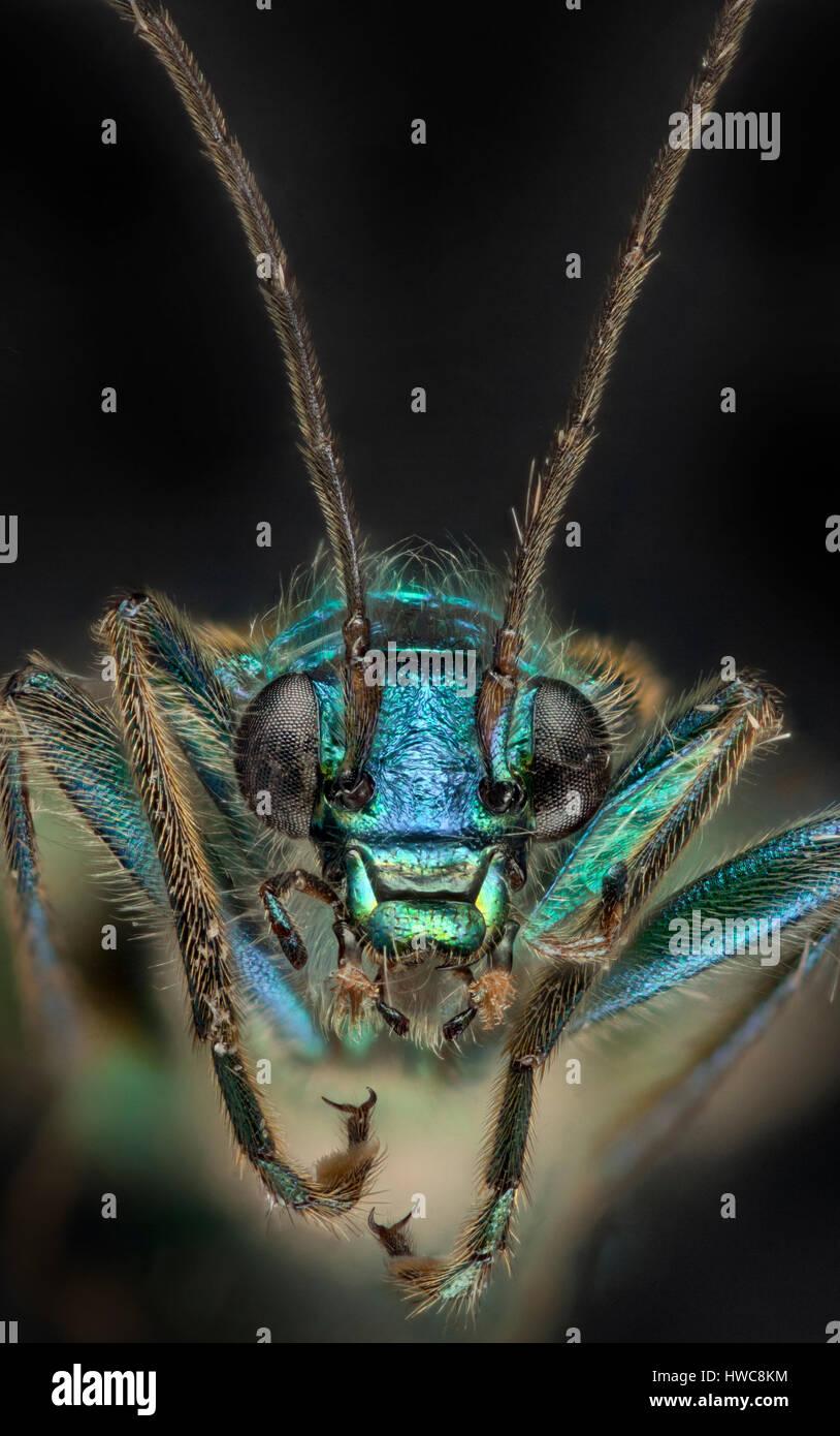 Dicken Beinen Blume Käfer, Oedemera Nobilis, zeigt schillern im Hochformat Stockbild