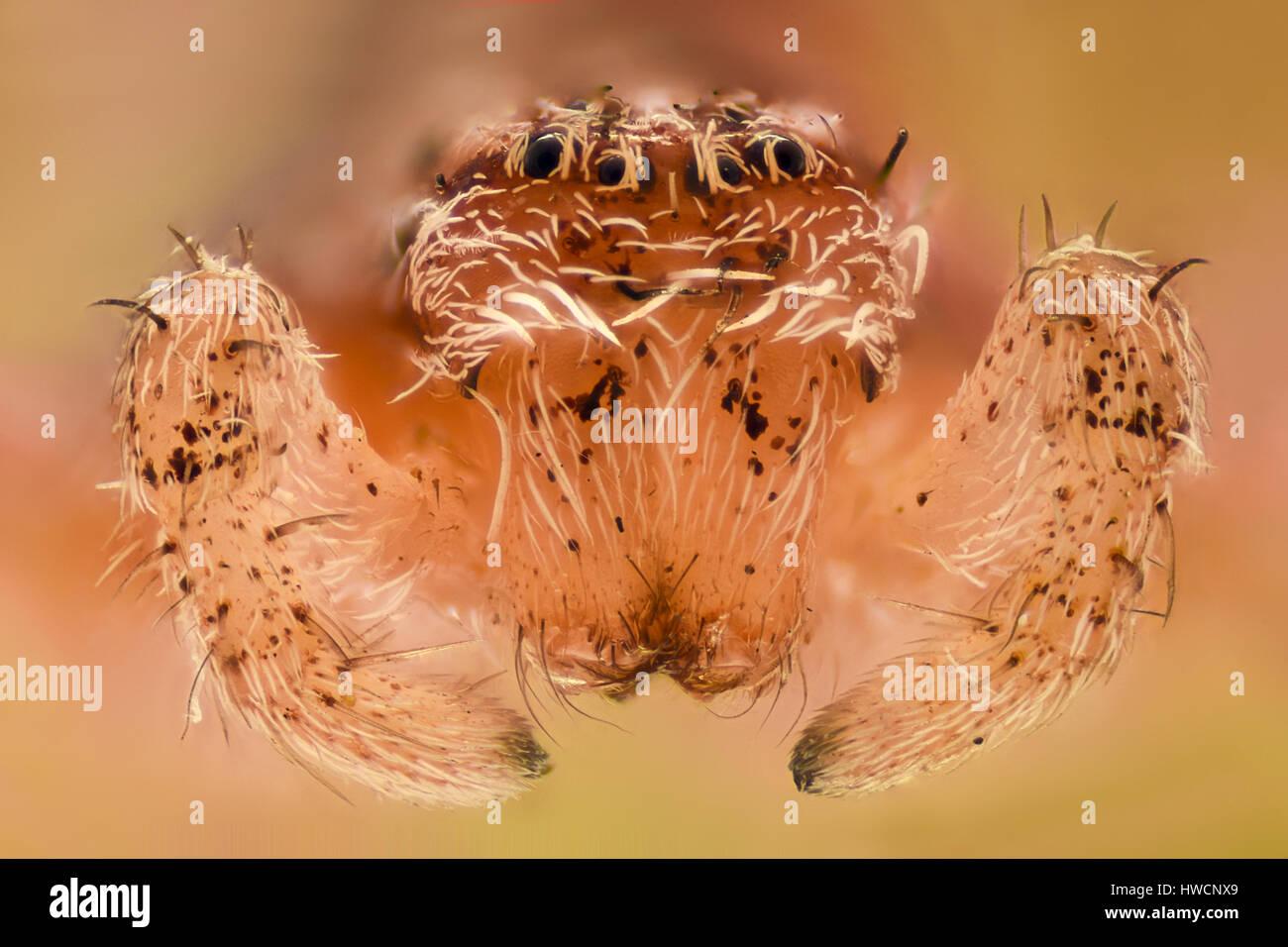 Extreme Vergrößerung - weisse Spinne, Vorderansicht Stockbild
