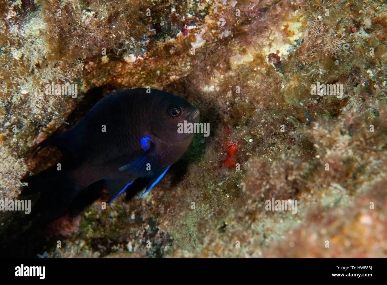 Kanarische Maid, Abudefduf Luridus, Pomacentridae, Teneriffa, Kanarische Inseln, Spanien, Atlantik Stockbild