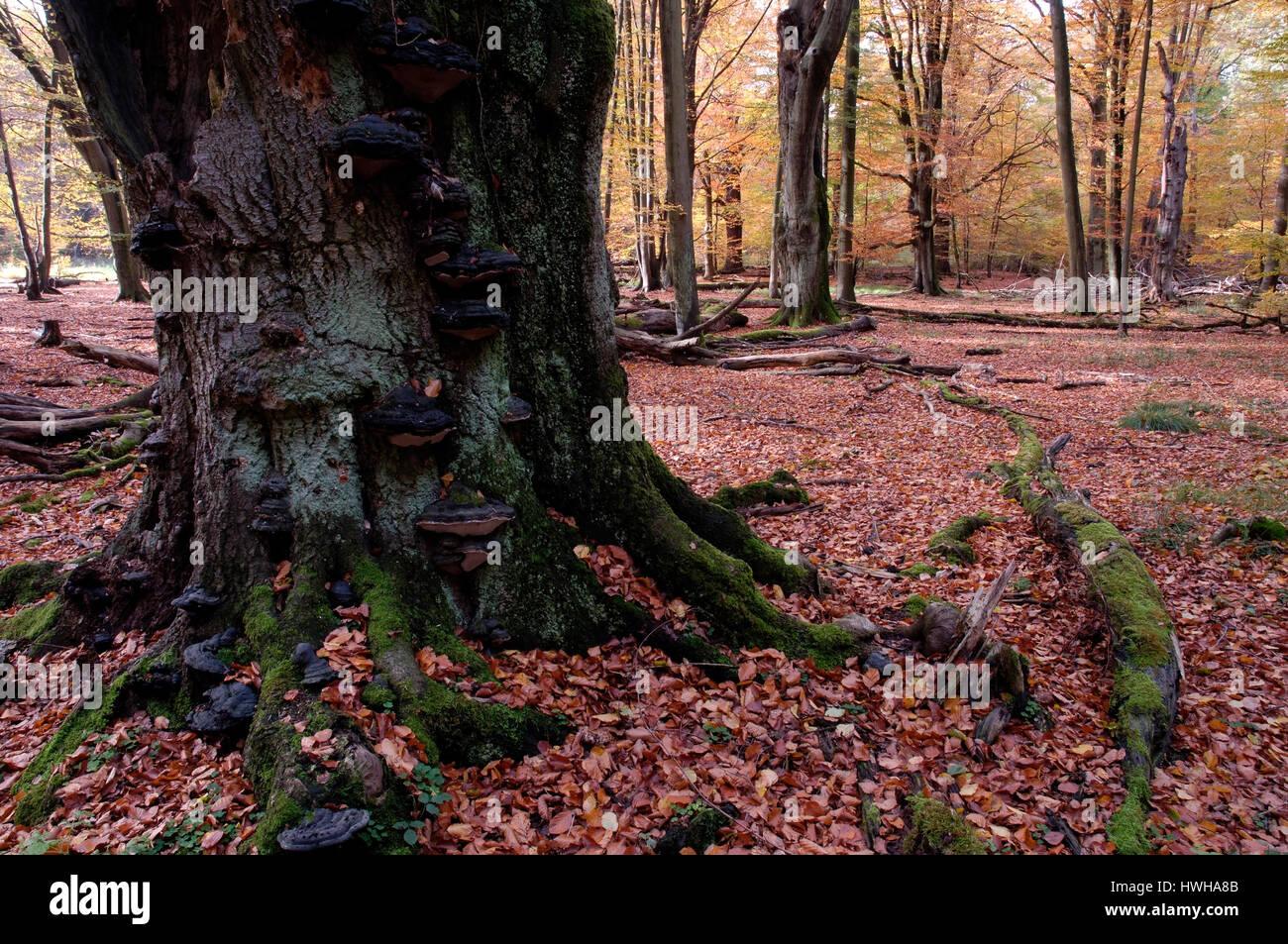 toter baum im urwald schloss saba hessen deutschland fagus sylvatica totholz in den urwald. Black Bedroom Furniture Sets. Home Design Ideas