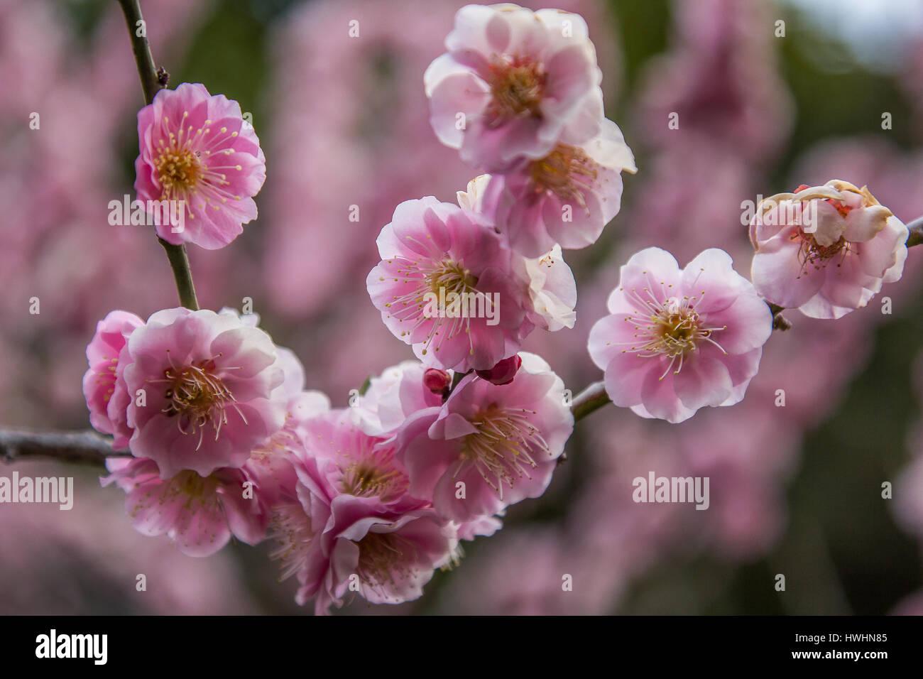 Japanische Pflaumenbäume oder Ume gekennzeichnet manchmal als japanische Aprikose eine wichtige Rolle im Zusammenhang Stockbild
