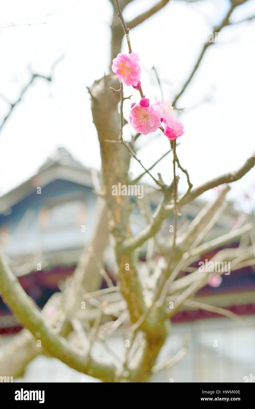 Ersten rosa Pflaumenblüten in Japan. Ume Aprikose Blüten. Stockbild