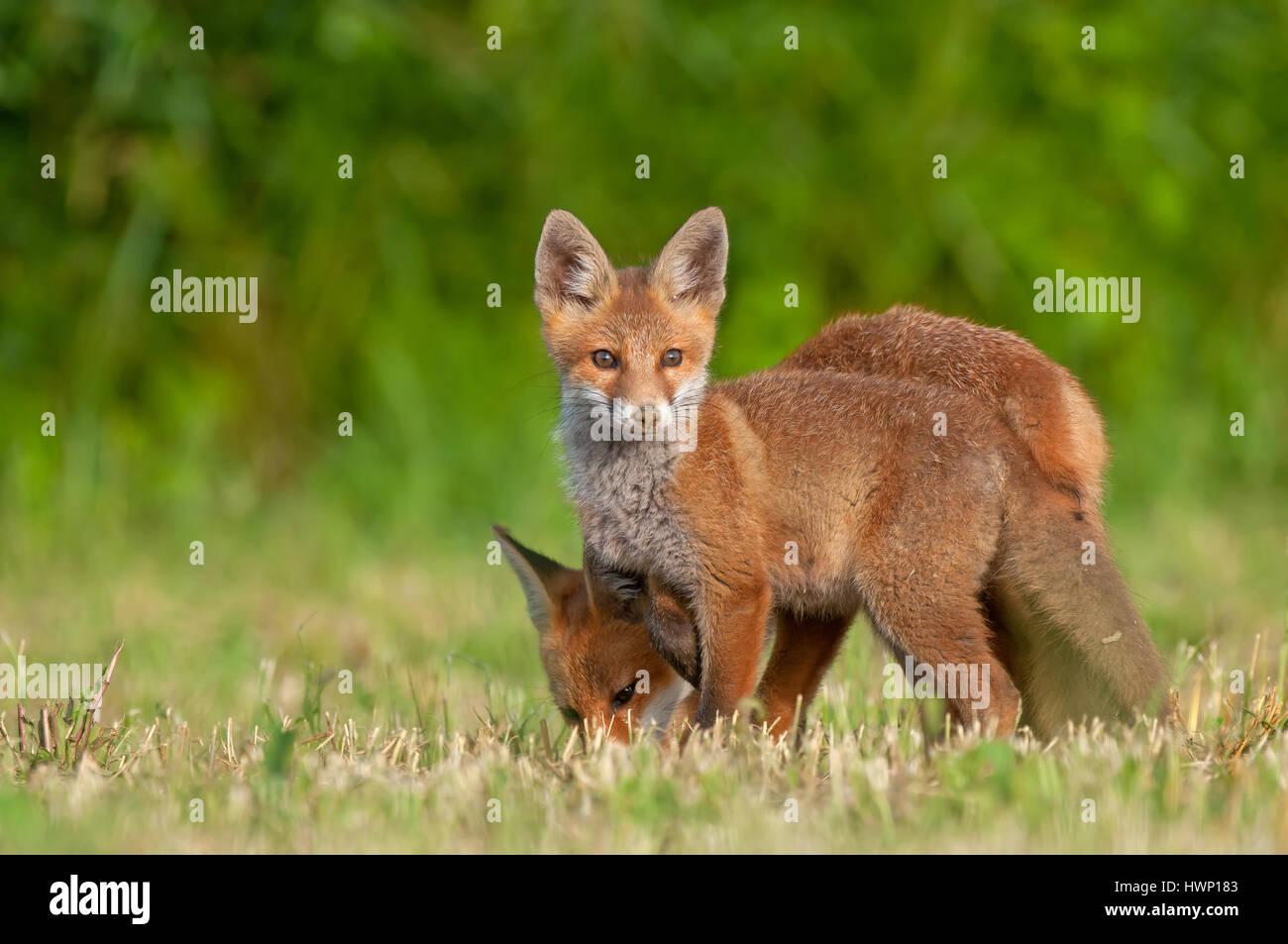 Foto von zwei rote Füchse in einem Feld Stockfoto