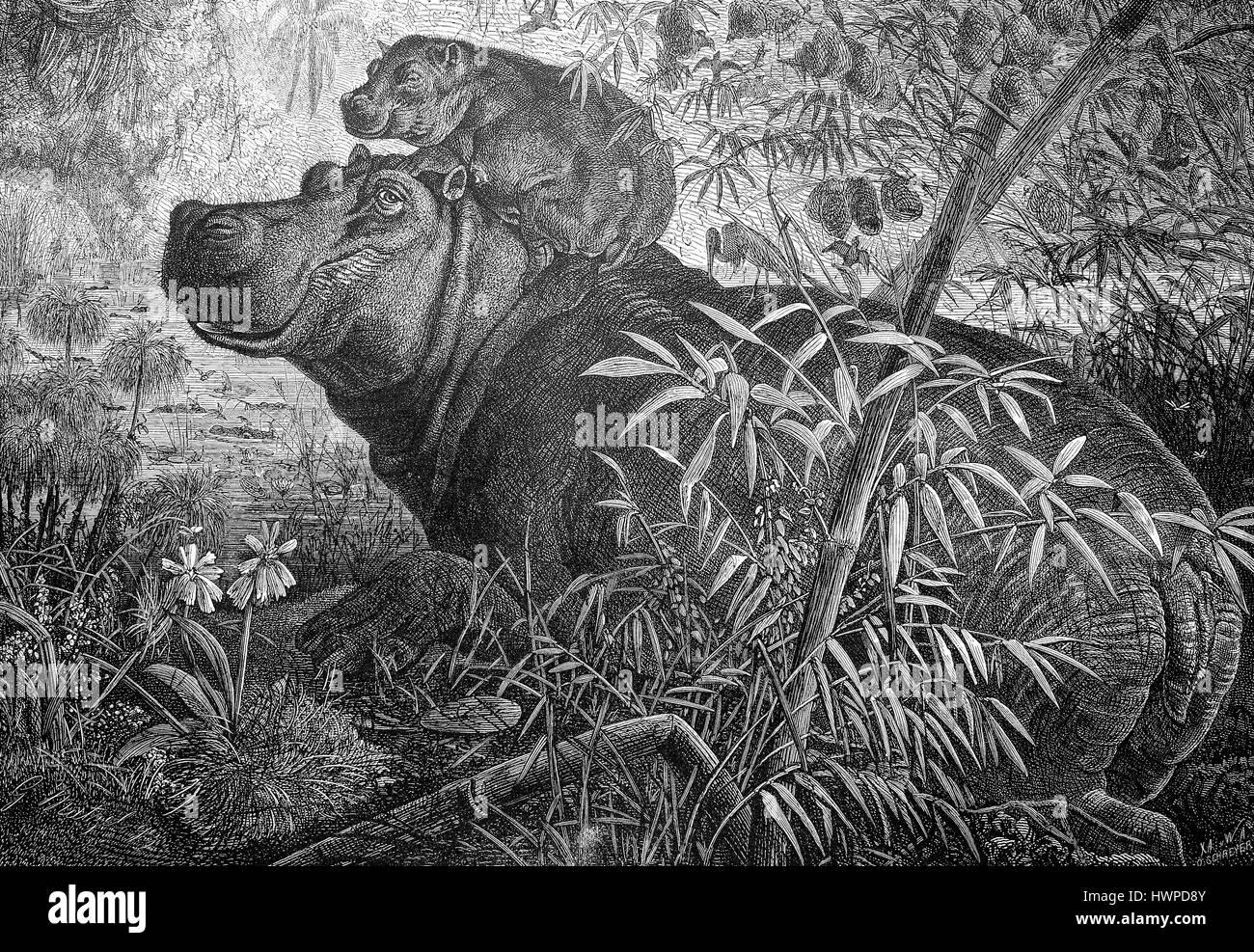 Nilpferd mit jungen in Ost-Afrika, Reproduktion einer original Holzschnitt aus dem Jahr 1882, digital verbessert Stockbild