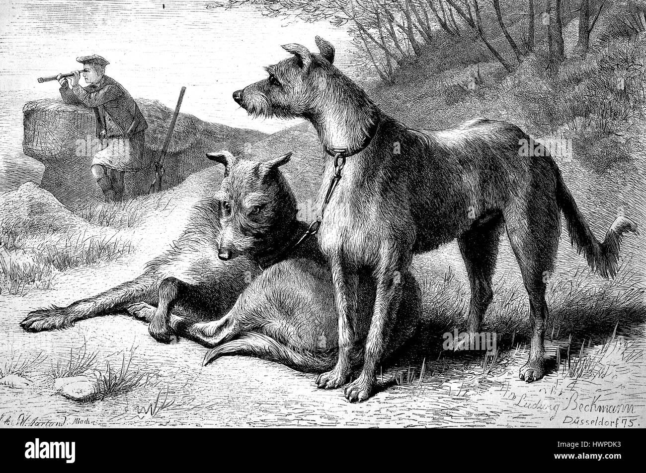 Scottish Deerhound, Greyhound Hunde als Jagdhund, Reproduktion einer original Holzschnitt aus dem Jahr 1882, digital Stockbild