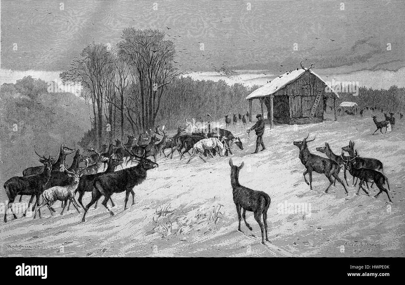 Winterfütterung im Wald, Rehe, Hirsche, Rehe kommen zur Krippe, Crip, Reproduktion einer original Holzschnitt Stockbild