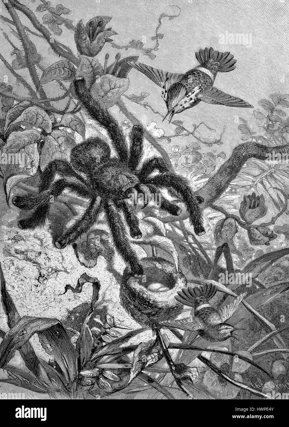eine Vogel-Essen Spinne dringt in ein Nest von der Kolibri, Reproduktion einer original Holzschnitt aus dem Jahr Stockbild
