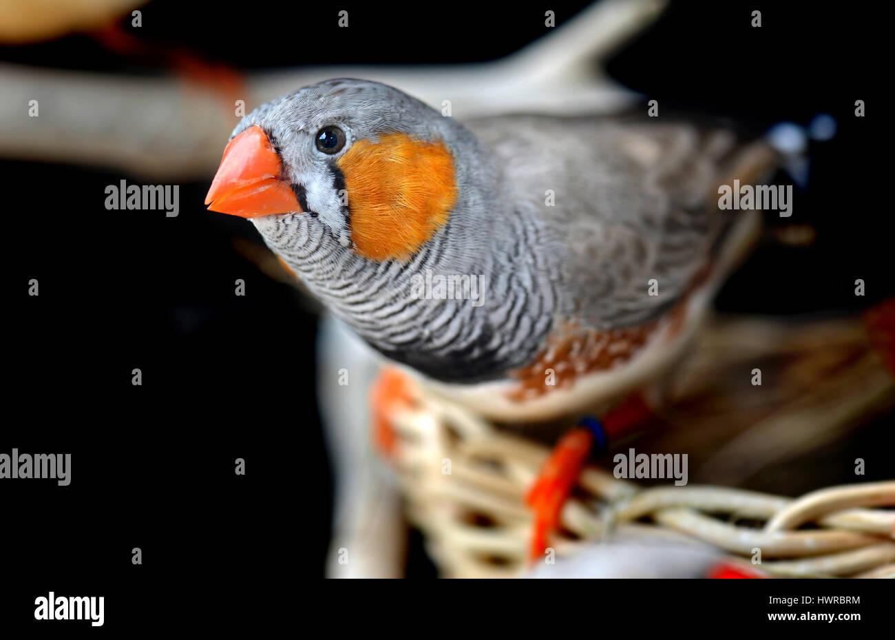 Young Zebra Finch Stockfotos & Young Zebra Finch Bilder - Alamy