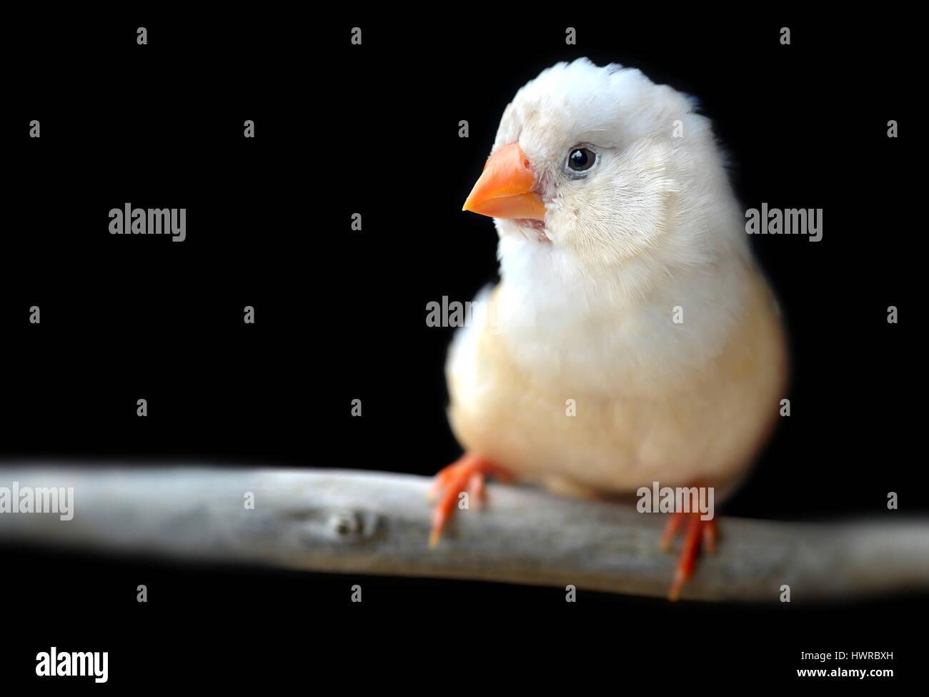 Leichte Creme Farbe Zebrafinken Vogel im Käfig für Haustier Foto mit ...