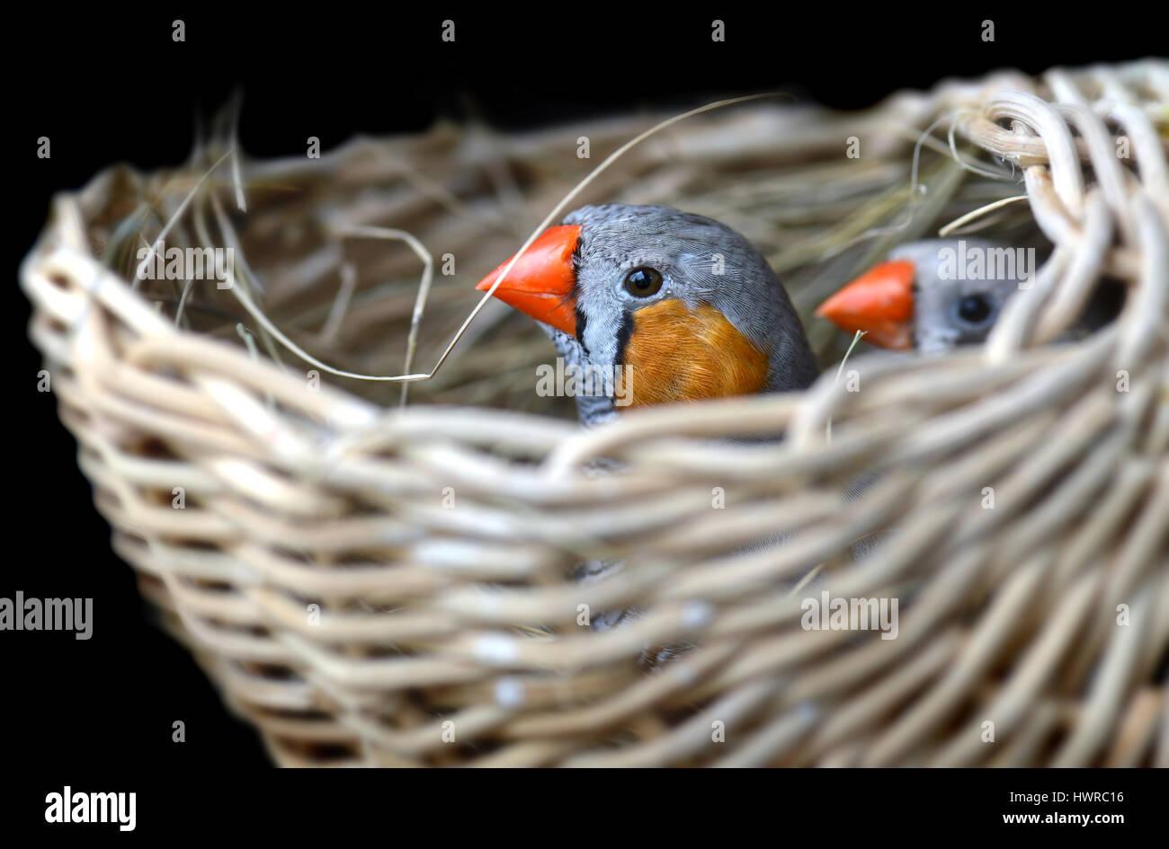 Paar Zebrafinken Vogel im Nest für Vogel-Foto mit Flash-Beleuchtung ...