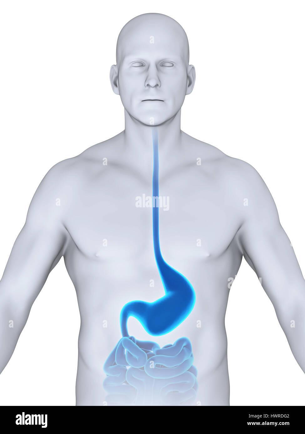 Anatomie der menschlichen Magen Stockfoto, Bild: 136354514 - Alamy