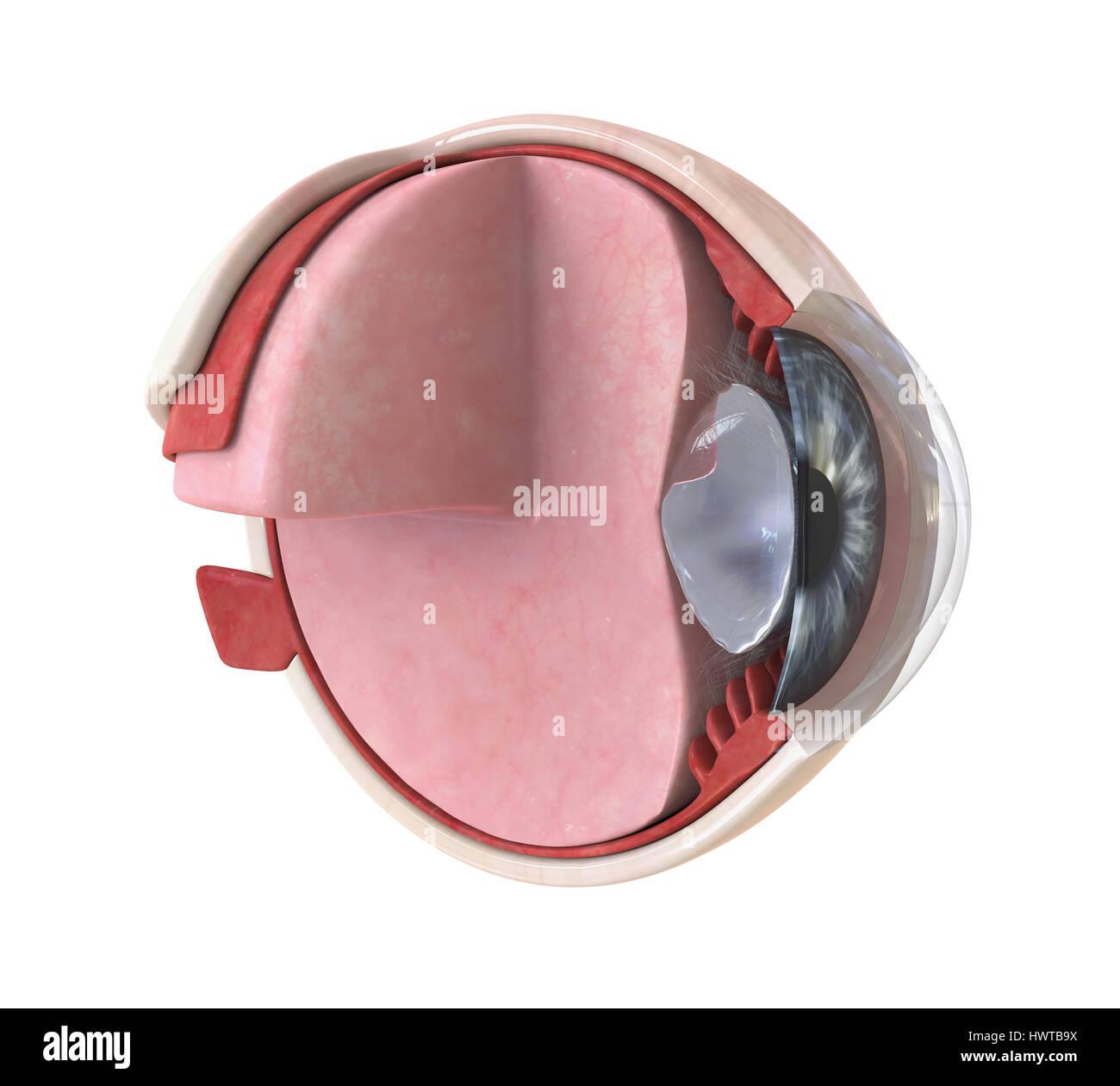Menschliche Auge Anatomie isoliert Stockfoto, Bild: 136374726 - Alamy