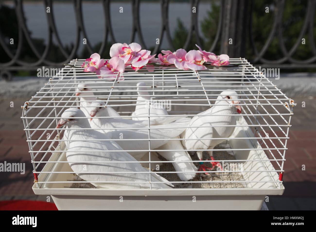 Weisse Taube Taube Hochzeit Taube In Einem Kafig Stockfoto Bild