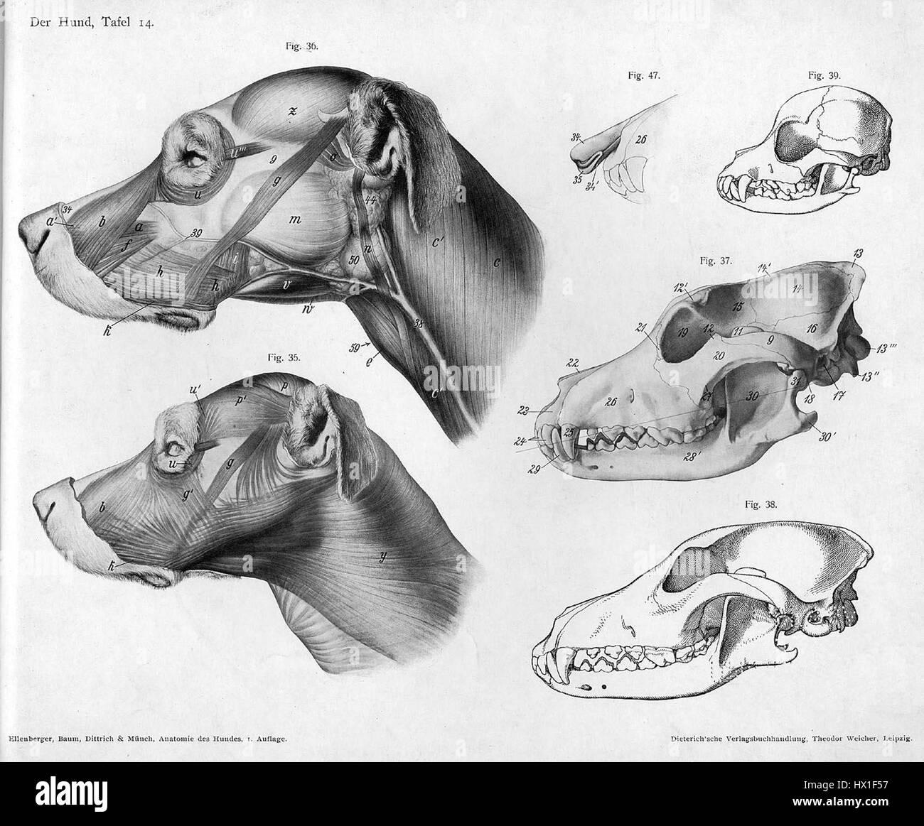 Hundekopf Anatomie Stockfoto, Bild: 136487491 - Alamy
