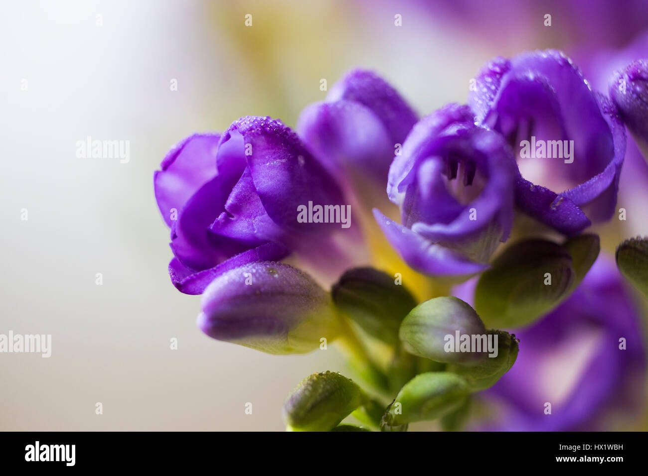 blume lila freesie stockfoto bild 136495509 alamy. Black Bedroom Furniture Sets. Home Design Ideas