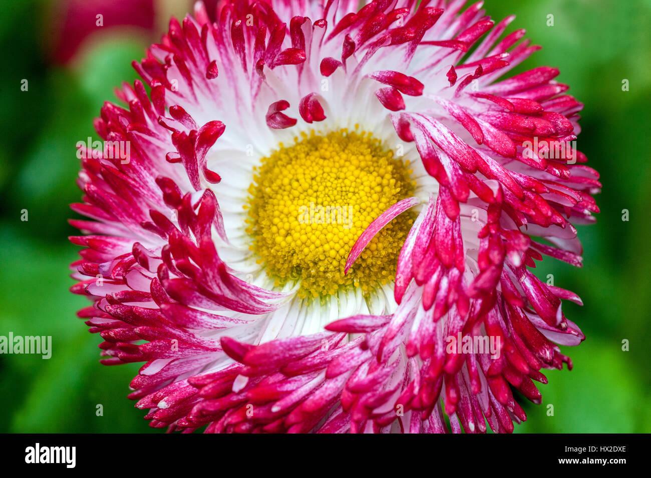 bellis red spring flowers stockfotos bellis red spring flowers bilder alamy. Black Bedroom Furniture Sets. Home Design Ideas
