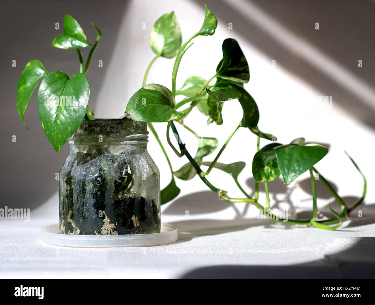philodendron pflanzen im glas hydrokultur stockfoto bild. Black Bedroom Furniture Sets. Home Design Ideas