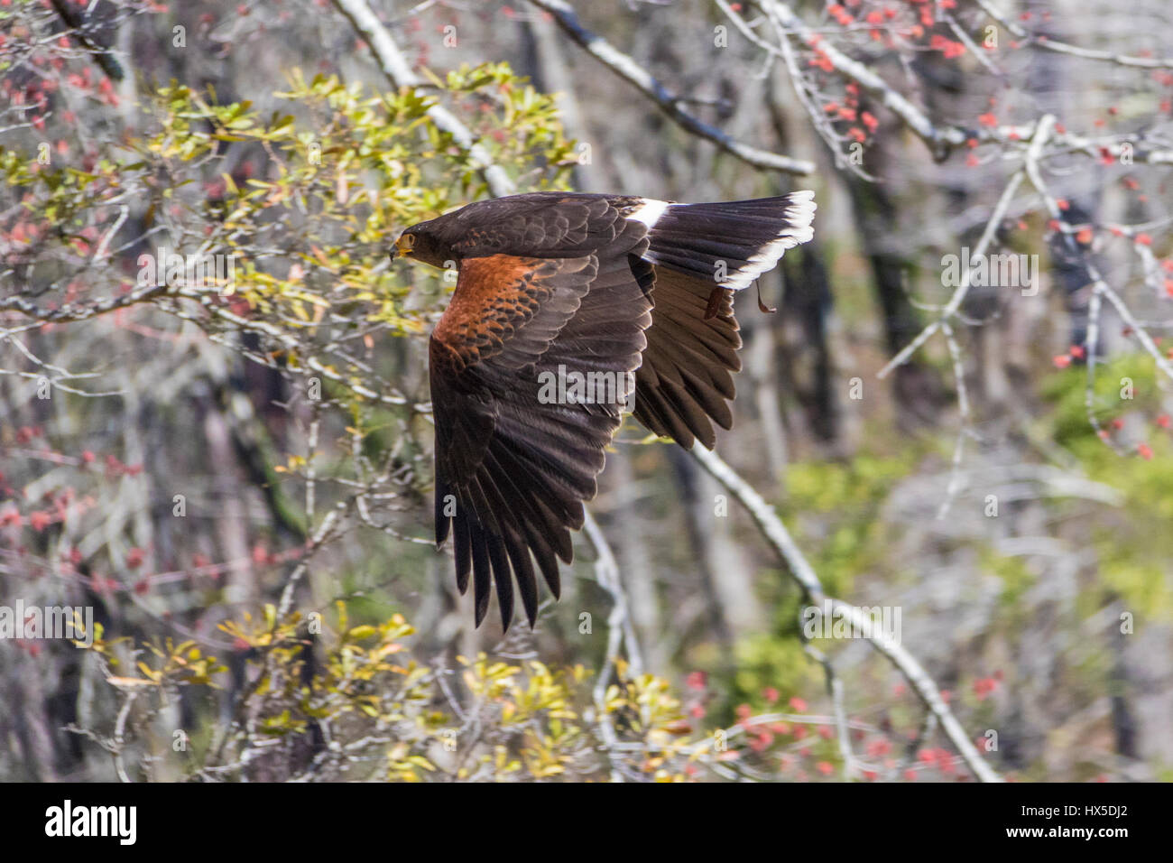 Harris Hawk in Callaway Garden Birds Of Prey Rehabilitation und Ausbildung Programm. Stockbild