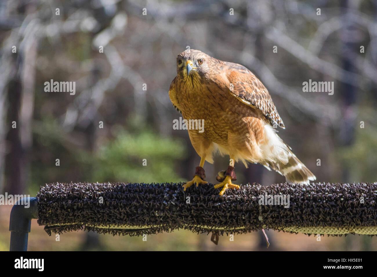Rot-geschultert Hawk in Callaway Garden Birds Of Prey Rehabilitation und Ausbildung Programm. Stockbild