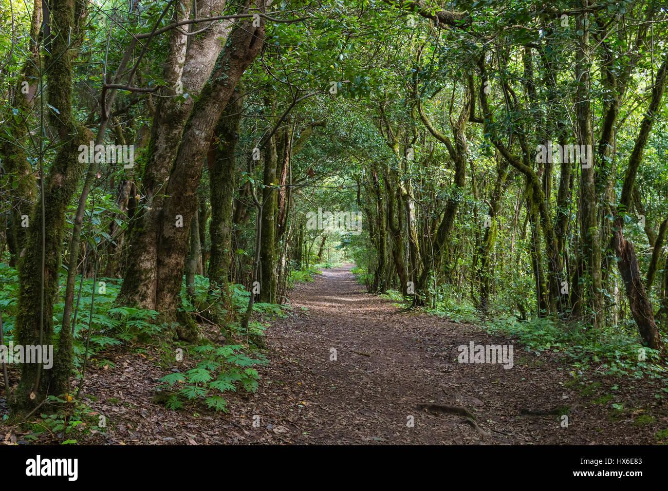 Wanderweg durch den Wald von Laural in das Anaga-Gebirge auf Teneriffa, Spanien. Stockfoto