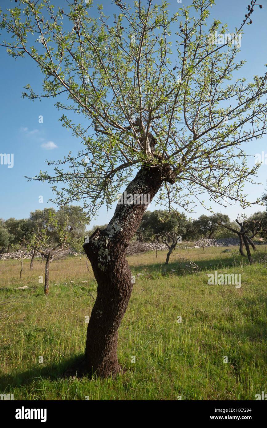 Mandelbaum im mediterranen Frühling. Stockbild