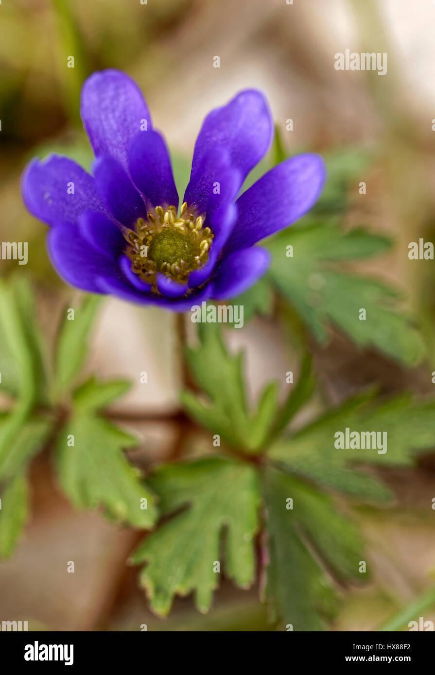 Purple Anemone Blanda Stockfotos & Purple Anemone Blanda Bilder ...