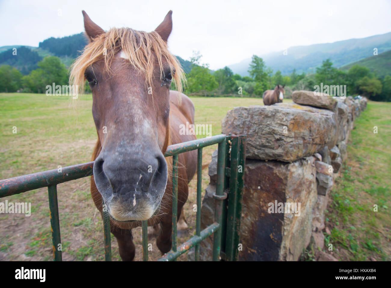 Pferd in der Landschaft, Nahaufnahme. Ruente, Kantabrien, Spanien. Stockbild