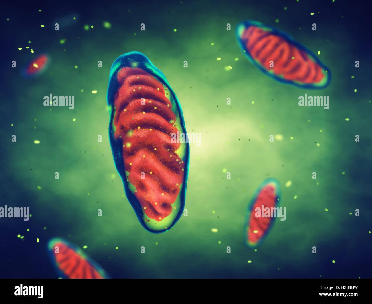 Mitochondrien, Zellenenergie, Zellatmung Stockfoto