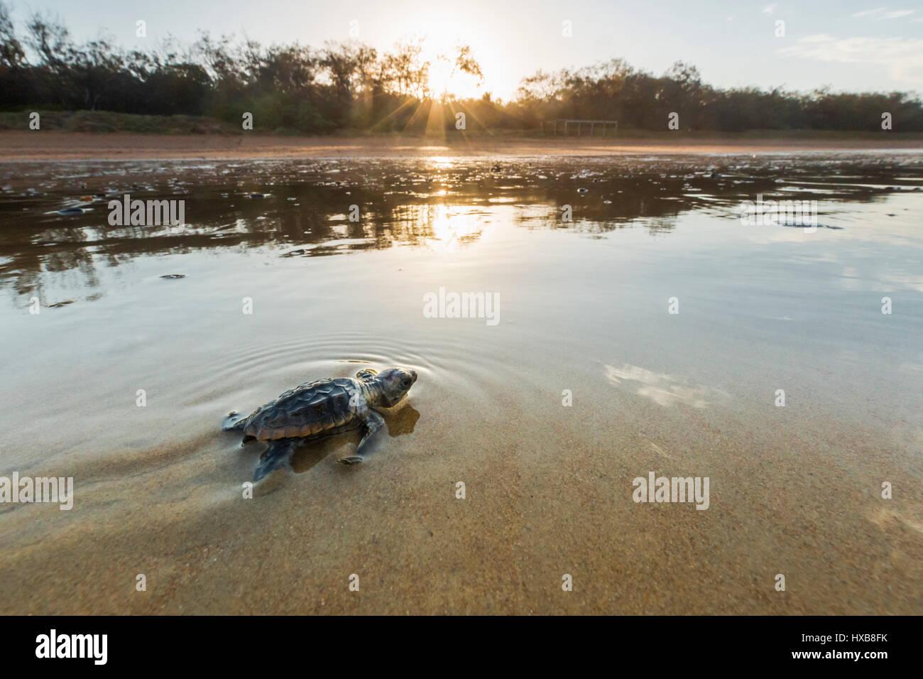 Baby Unechte Karettschildkröte (Caretta Caretta), die ihre Reise zum Meer bei Sonnenuntergang.   Mon Repos Stockbild