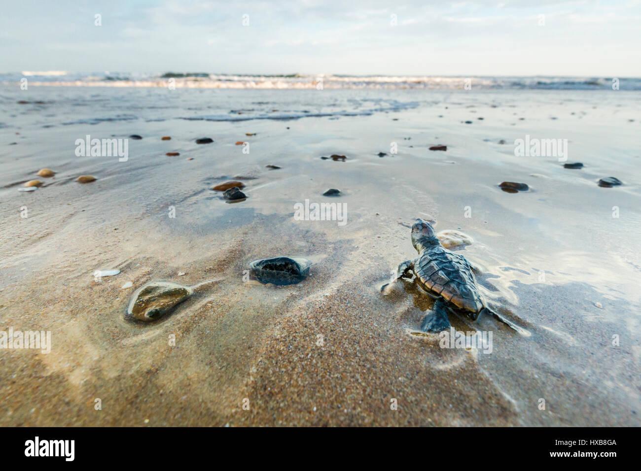 Baby Unechte Karettschildkröte (Caretta Caretta), die ihre Reise zum Meer.   Mon Repos Conservation Park, Bundaberg, Stockbild