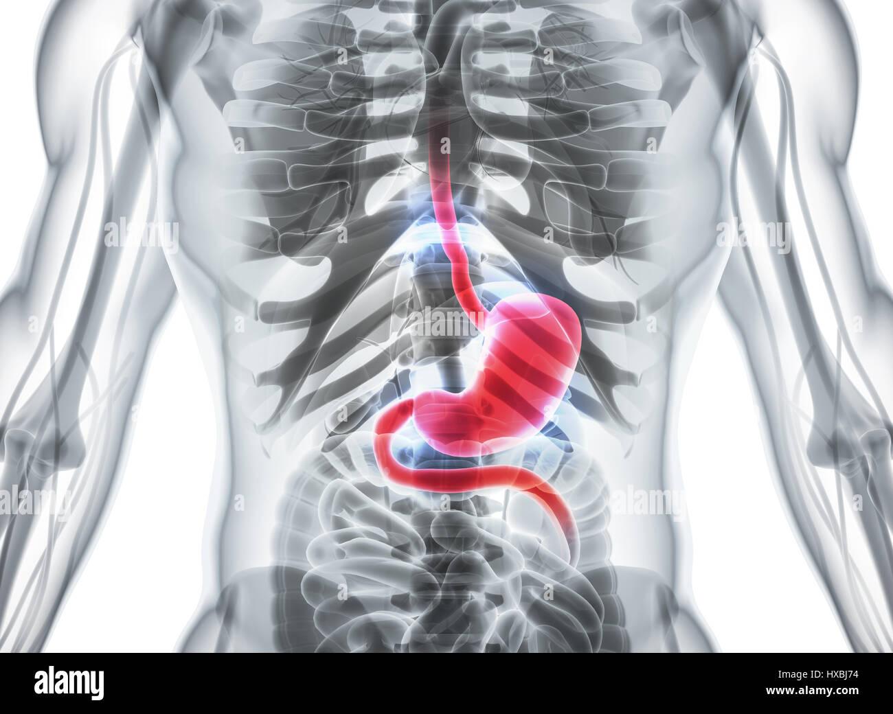 Nett Verdauungssystem Anatomie Ppt Zeitgenössisch - Anatomie Von ...