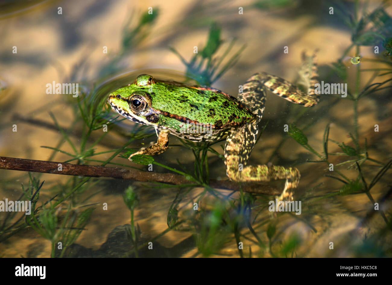 Essbare frosch au er esculentus in wasser schweiz - Frosch englisch ...