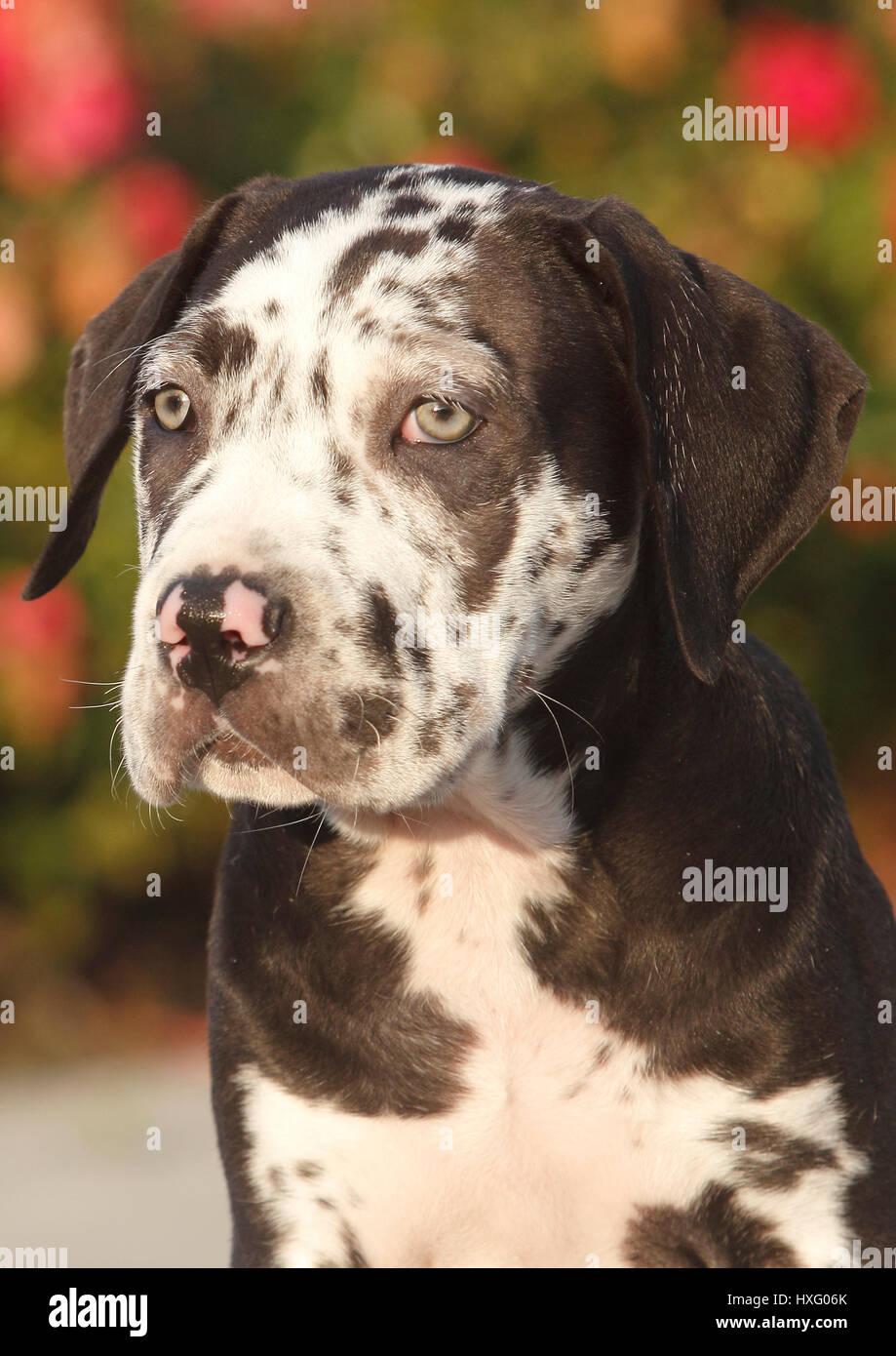 Mischlingshund (Dogo Canario x Great Dane). Porträt eines Welpen (10 Wochen alt). Deutschland Stockfoto