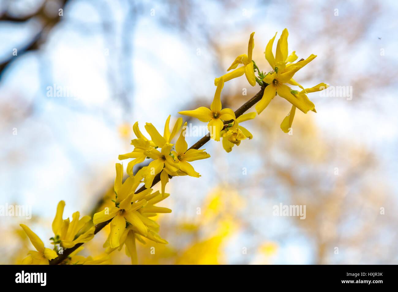 fr 252 hling strauch mit gelben bl 252 ten forsythien bl 252 hen an sehr sonnigen tag stockfoto bild