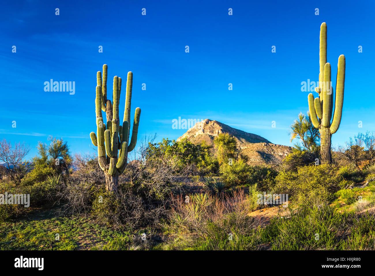 Eine Landschaftsansicht der Wüste Kaktus Vegetation in den Tonto National Forest, Arizona, USA. Stockfoto